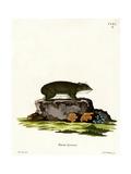 Cape Hyrax Giclee Print