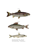 Brown Trout Giclee Print