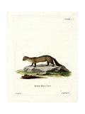 Pine Marten Giclee Print