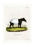 Indian Tapir Giclee Print