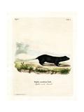 Texan Skunk Giclee Print