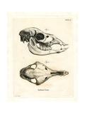 Llama Skull Giclee Print