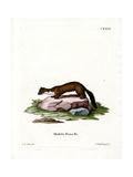 Stone Marten Giclee Print