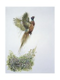 Close-Up of a Ring-Necked Pheasant Flying (Phasianus Colchicus) Giclee Print