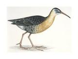Birds: Gruiformes, Water Rail (Rallus Aquaticus) Giclee Print