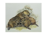 Close-Up of a Female Beaver Lying with its Young (Castor Fiber) Giclee Print