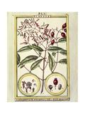 Clove (Caryophyllus Aromaticus), 1789 Giclee Print