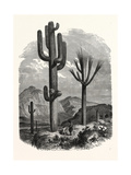 The Cereus Giganteus, or Monumental Cactus Giclee Print