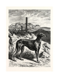 English Greyhounds. after Specht Giclee Print