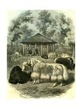Paris Yaks 1854 Giclee Print