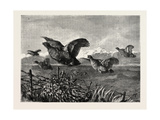 A Covey of Partridges Giclee Print