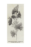 Aconite (Aconitum Napellus), Monkshood, or Wolfsbane Giclee Print