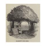Raleigh's Yew Tree Giclee Print