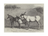Prize Donkeys and Mule at the Show in the Agricultural Hall, Islington Giclee Print