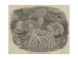 Sea Anemones in the Gardens of the Zoological Society, Regent's Park Giclee Print