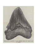 Tooth of a Gigantic Fossil Shark Found on the Coast of Malta Giclee Print