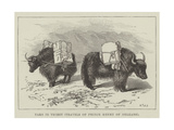 Yaks in Thibet, Travels of Prince Henry of Orleans Giclee Print