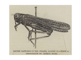 Locust Captured in the Strand, 28 August Giclee Print