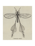 Australian Insect Giclee Print