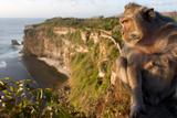 Monkeys Along the Cliffs Next to the Ulu Watu Temple Pura Luhur, Bali Photographic Print