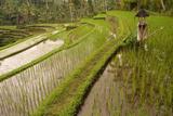 Rice Field, Near the Town of Bangli. Ubud. Bali Photographic Print