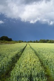 Wheatfield with Tractor Track, Near Belsay, Northumberland, UK Photographic Print
