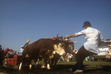 Ox Pull, Ox and Scallop Festival, Lunenberg, Nova Scotia, Canada Photographic Print