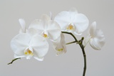 Moth Orchid (Phalaenopsis) Epiphyte Photographic Print