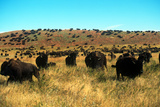 Buffalo Round-Up, Custer State Park, South Dakota Photographic Print