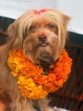 Worship of the Dog, Tihar Festival, Katmandu, Nepal Photographic Print