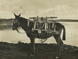 7.5Cm 1930 Model Bofors Mountain Gun Carried by a Mule, 1930 Photographic Print