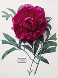 Floral Decoupage - Paeonia Posters by Camille Soulayrol
