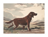 Irish Setter Premium Giclee Print by Reuben Ward Binks