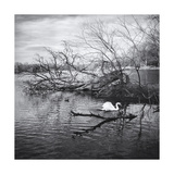 Prospect Park Swan, Brooklyn Ny Photographic Print by Henri Silberman