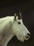 Mountain Goat Surveys its Montana Mountain Landscape Metal Print by Michael S. Quinton