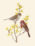 Scarlet Grosbeak Giclee Print by Anatole Marlin