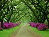 A Beautiful Pathway Lined with Trees and Purple Azaleas Metal Print by Sam Abell