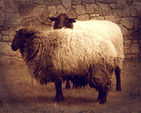 Sheep in Vignette Giclee Print by  Graffi*tee Studios
