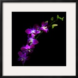 Purple Dendrobium Orchids Framed Photographic Print by Magda Indigo