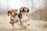 Two Funny Beagle Dogs Running Photographic Print by  Ksuksa