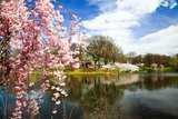 The Cherry Blossom Festival in New Jersey Photographic Print by  Gary718