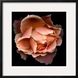 Rose Just Joey Framed Photographic Print by Magda Indigo