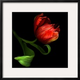 Parrot Tulip Framed Photographic Print by Magda Indigo