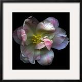Pink Tulip Framed Photographic Print by Magda Indigo