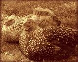 Hens in Vignette Giclee Print by  Graffi*tee Studios