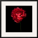 Red Ranunculus Framed Photographic Print by Magda Indigo