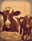 Cows in Vignette Giclee Print by  Graffi*tee Studios