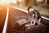 Mongrel on Rails with Suitcases. Photographic Print by  AZALIA