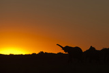 Elephant with Raised Trunk Silhouette in Sunset in Northern Botswana Photographic Print by Beverly Joubert