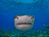 Close Up of a Tiger Shark Swimming at the Sea Floor Photographic Print by Jim Abernethy